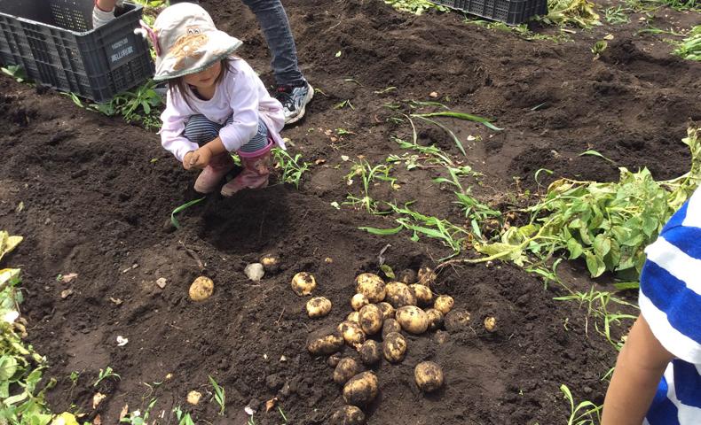 芋掘り体験